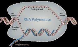 دانلود پاورپوینت RNA and Transcription (رونویسی)